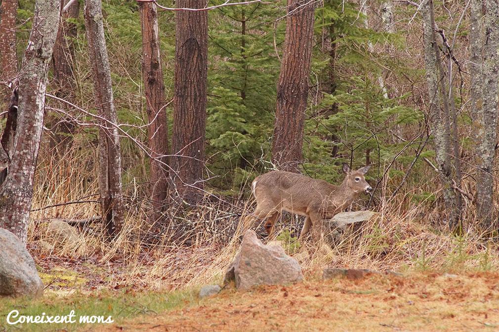 Cèrvol de Virginia - Acadia National Park - Maine