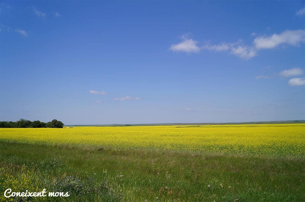 I més camps de colza! - Saskatchewan