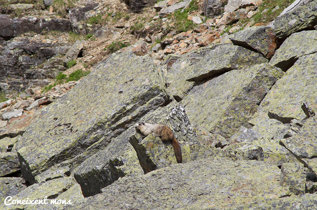 Marmota - Yoho National Park - British Columbia