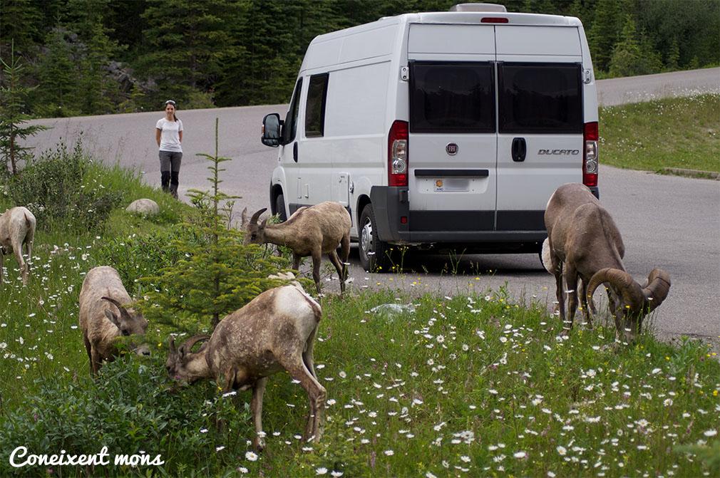 Ramat de muflons - Jasper National Park - Alberta