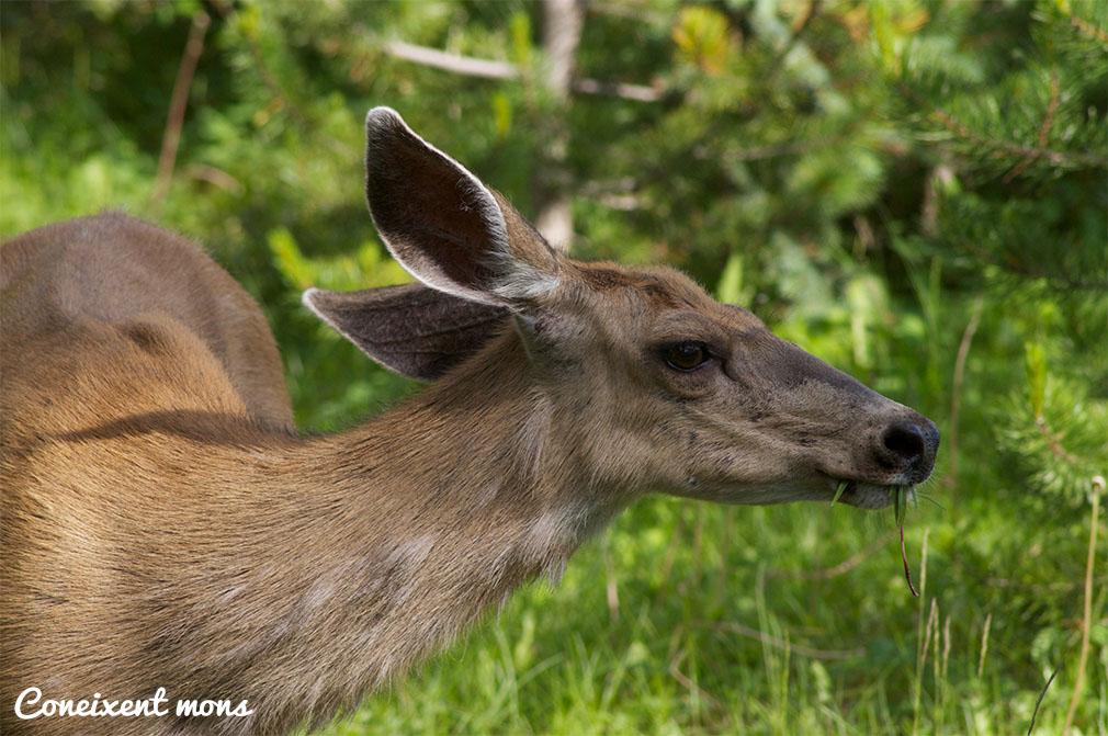 Cèrvol mul - Jasper National Park - Alberta