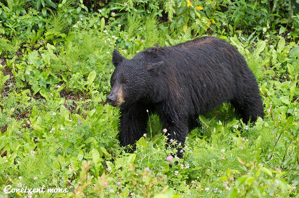 Ós negre - British Columbia