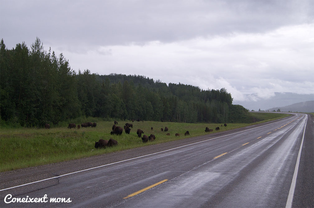 Ramat de bisons - British Columbia