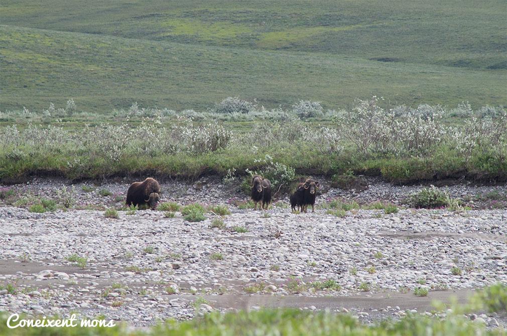 Bous mesquers - Alaska