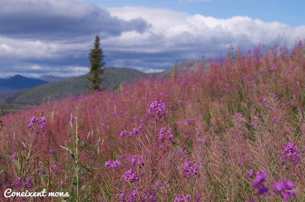 Camps de Fireweed - Alaska