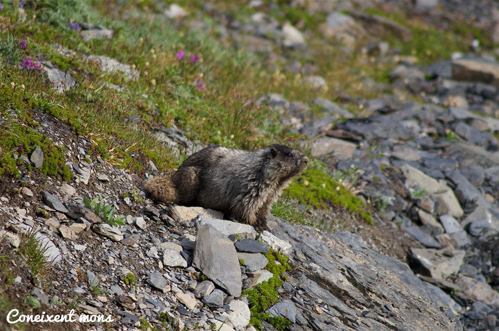 Marmota curiosa - Alaska