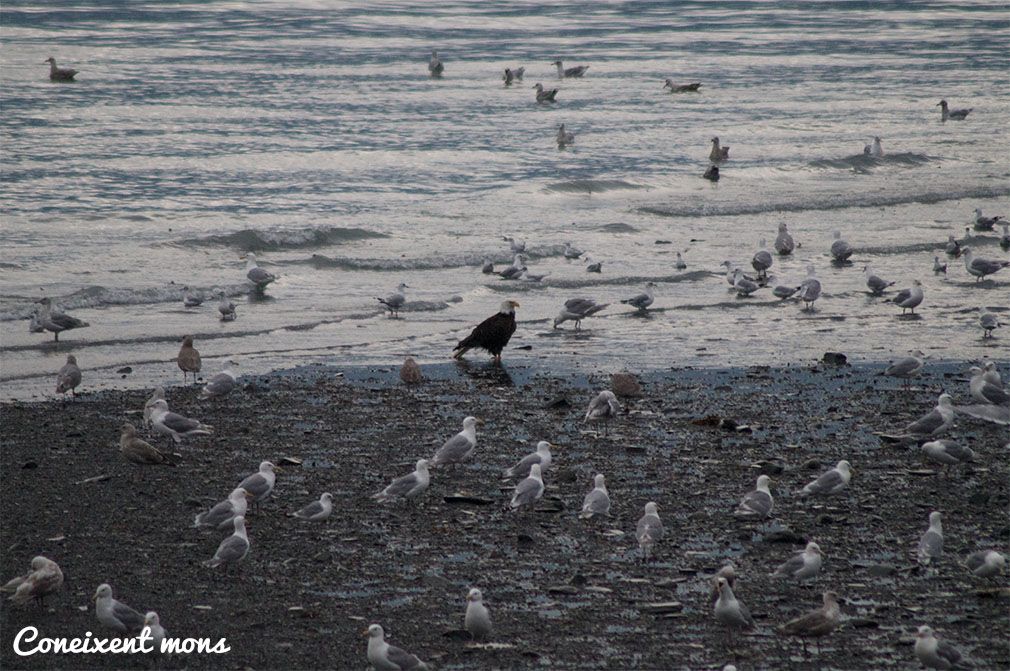 Àguila americana - Valdez - Alaska