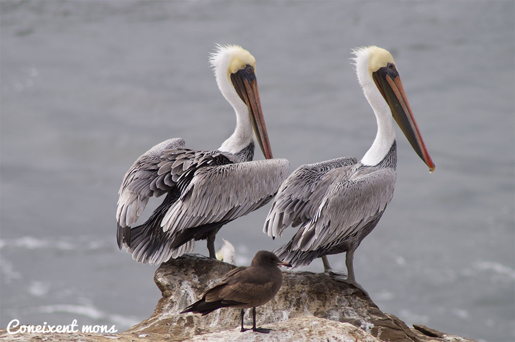 Pelicans - Santa Cruz - California
