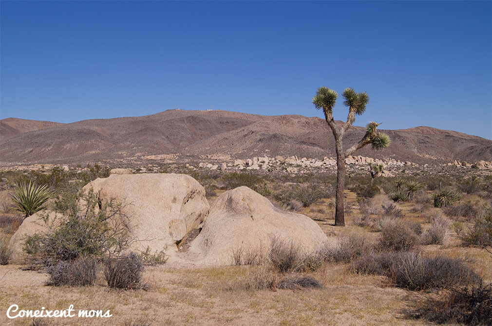 L'arbre de Joshua - Joshua Tree National Park - California