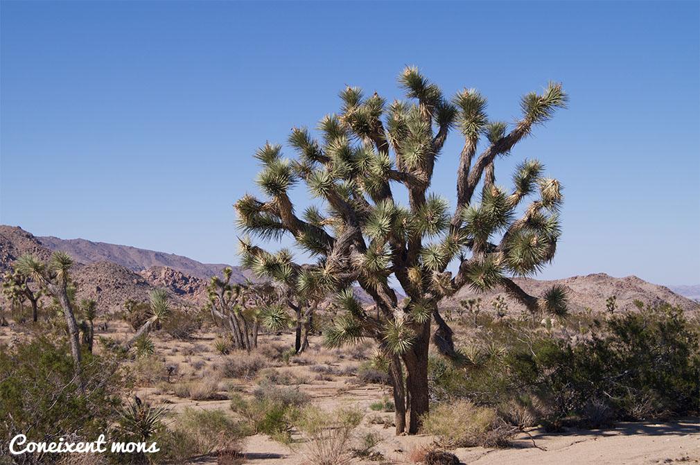 Pot arribar als 9 metres d'alçada i viure mil anys.