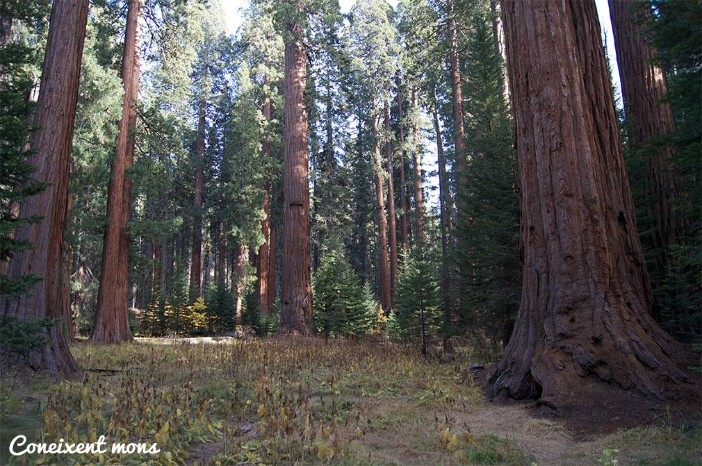 La gran quantitat de boira i les nombroses precipitacions ajuden a aquests arbres a atrapar alçades increïbles.